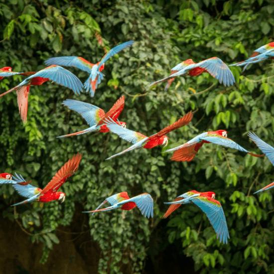 Parrots flying at the Bird Gardens
